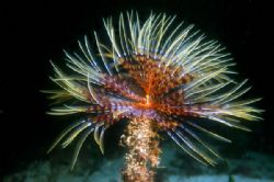 The Sea Worm &quot;Spirographis spallanzani&quot;. Mediterranean Se... by Lyubomir Klissurov 